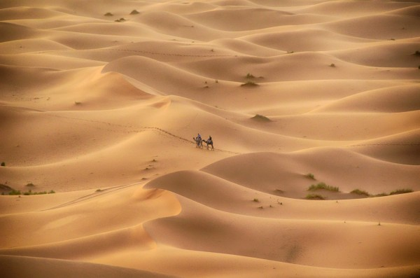 Walking camels. red sand dunes, Sahara Desert, Morocco