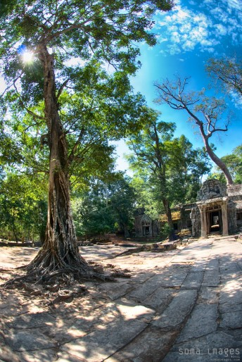 A giant tree reaches up from a stone floor at Angkor Wat in Cambodia