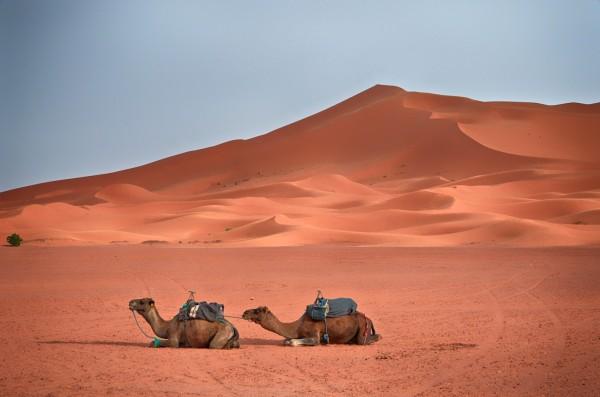 Camels sitting, sand dunes, Sahara Desert, Morocco